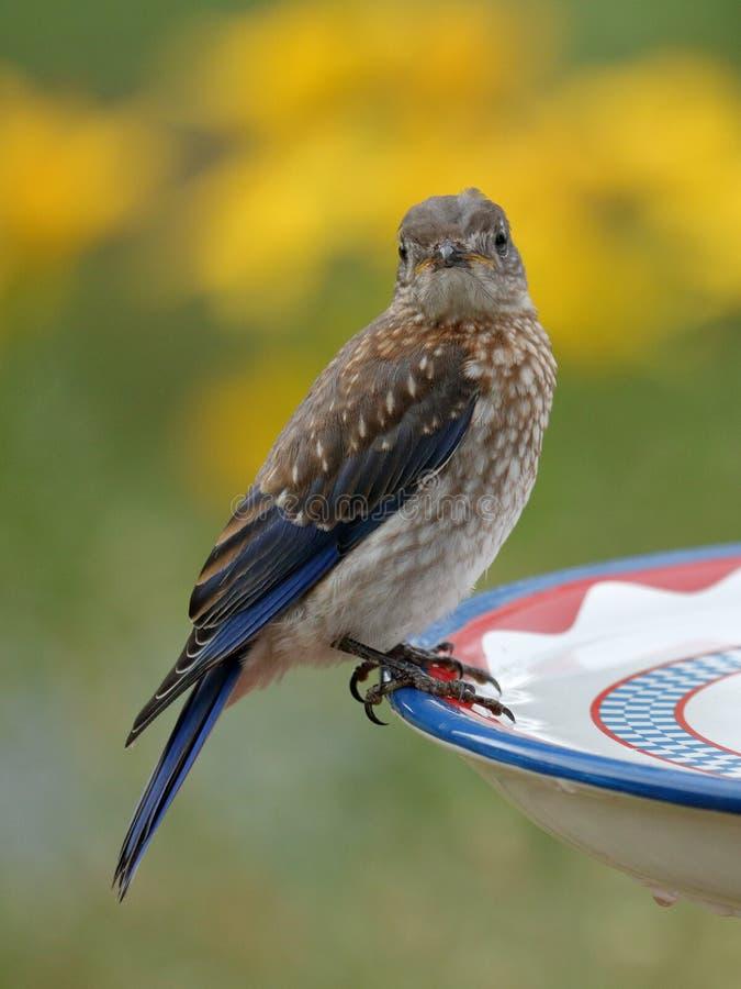Oiseau grincheux photographie stock