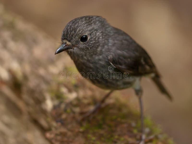 Oiseau gris mignon photos libres de droits