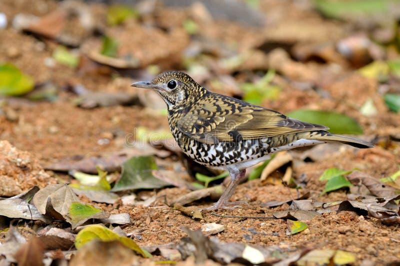 Oiseau (grive écallieuse), Thaïlande photo libre de droits