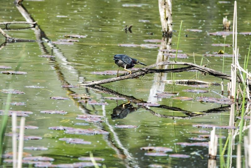 Oiseau ( ; Héron Vert) ; 1099 photographie stock