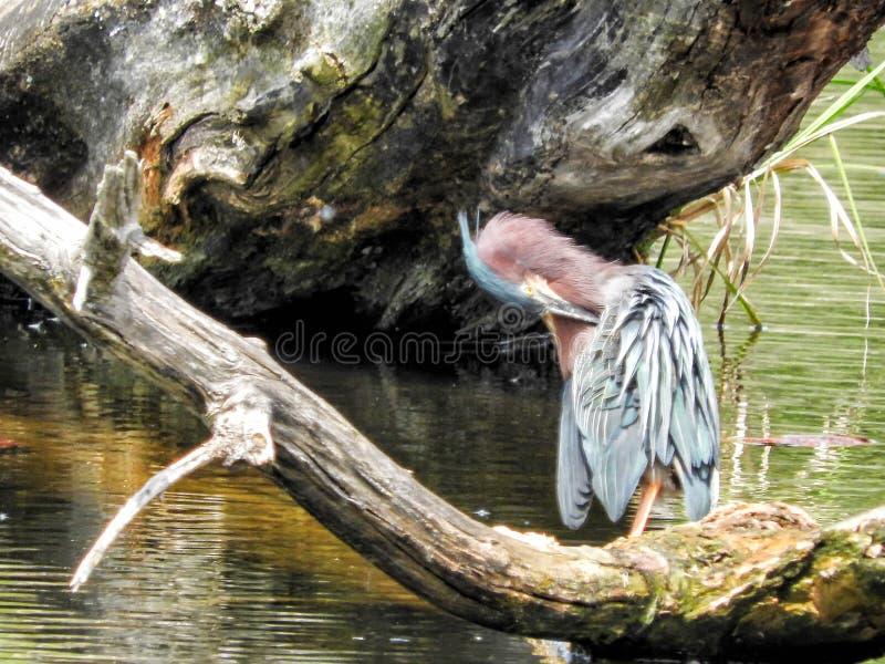 Oiseau ( ; Héron Vert) ; 1101 photo stock