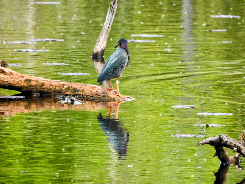 Oiseau ( ; Héron Vert) ; 1105 photo stock
