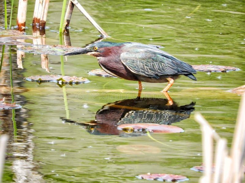 Oiseau ( ; Héron Vert) ; 1110 photo libre de droits