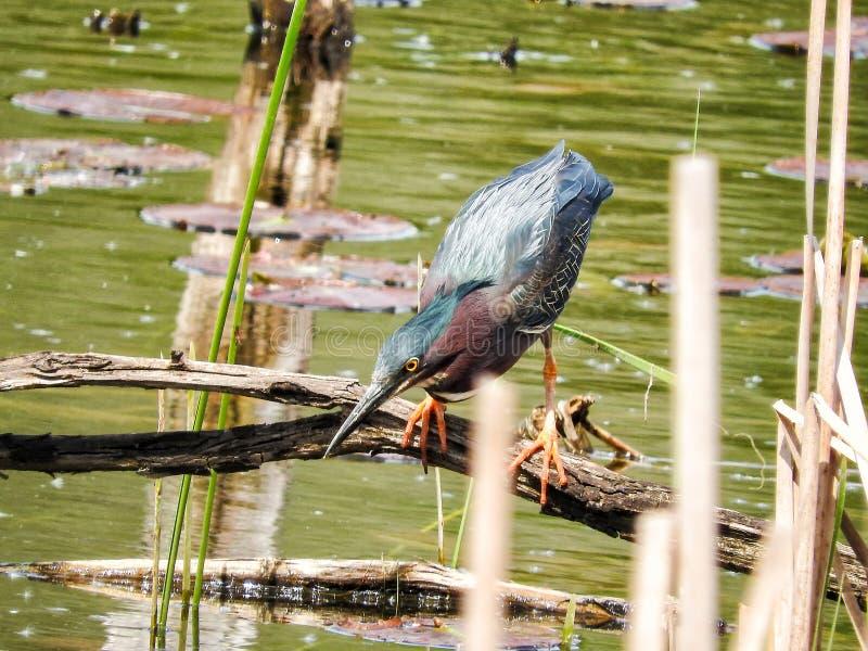 Oiseau ( ; Héron Vert) ; 1117 photo stock