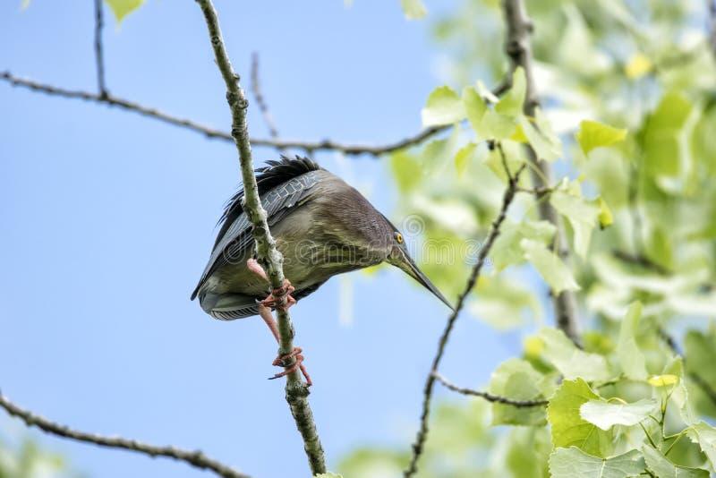 Oiseau ( ; Héron Vert) ; 1121 image libre de droits