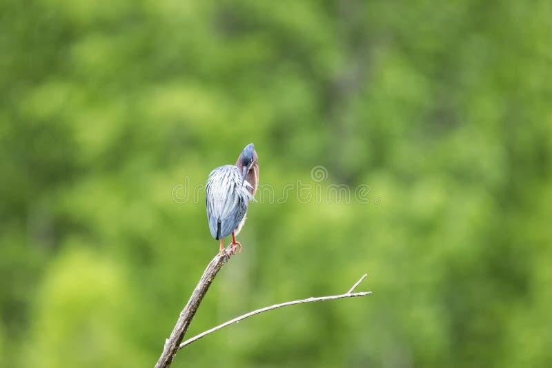 Oiseau ( ; Héron Vert) ; 1127 images stock
