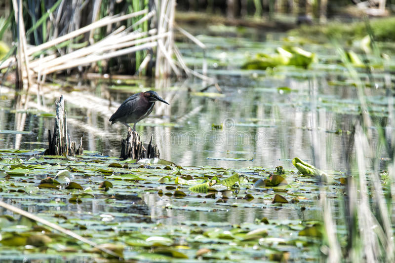 Oiseau ( ; Héron Vert) ; 1138 photos libres de droits