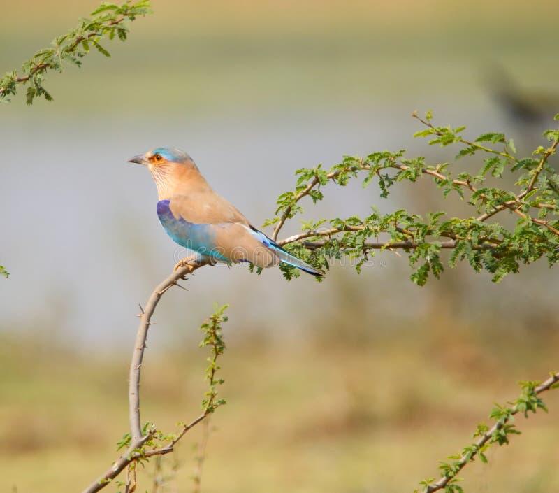 Oiseau indien de rouleau image libre de droits