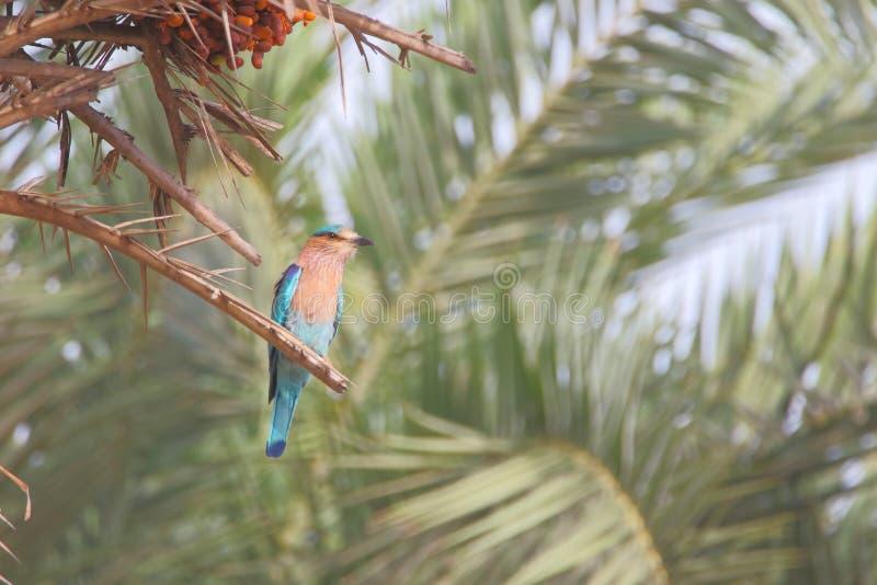 Oiseau indien de rouleau images stock