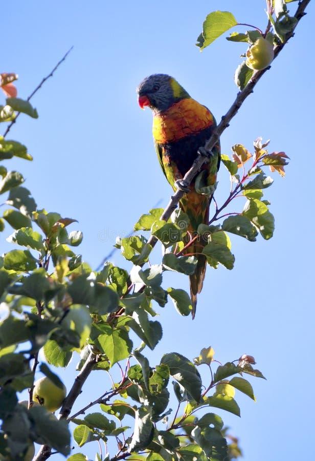 Oiseau indigène australien, perroquet de lorikeet d'arc-en-ciel dans l'abricotier, début de la matinée photos libres de droits