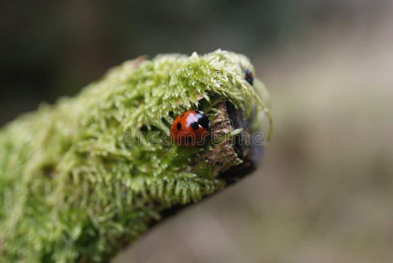 Oiseau/insecte de Madame photos libres de droits