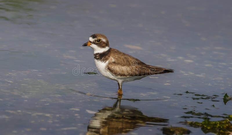 Oiseau jaunâtre de pluvier de Semipalmated dans le latin images libres de droits