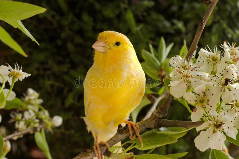 Oiseau jaune canari photographie stock