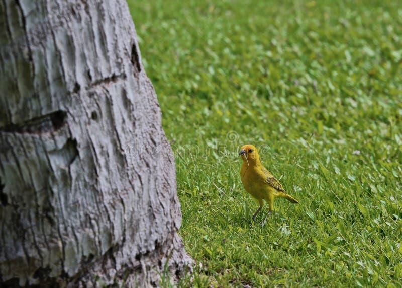 Oiseau jaune canari images libres de droits