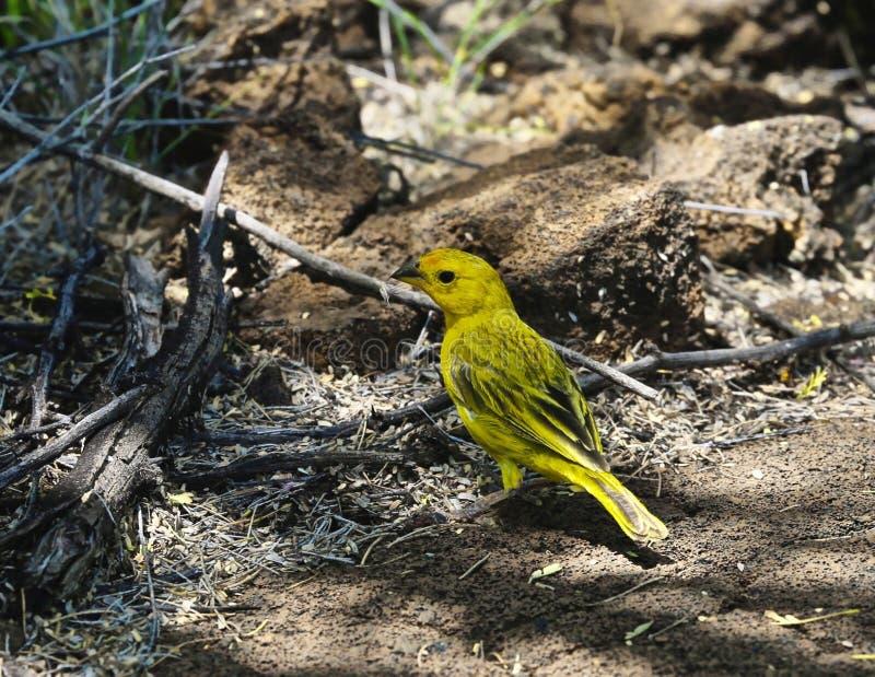 Oiseau jaune canari photos libres de droits