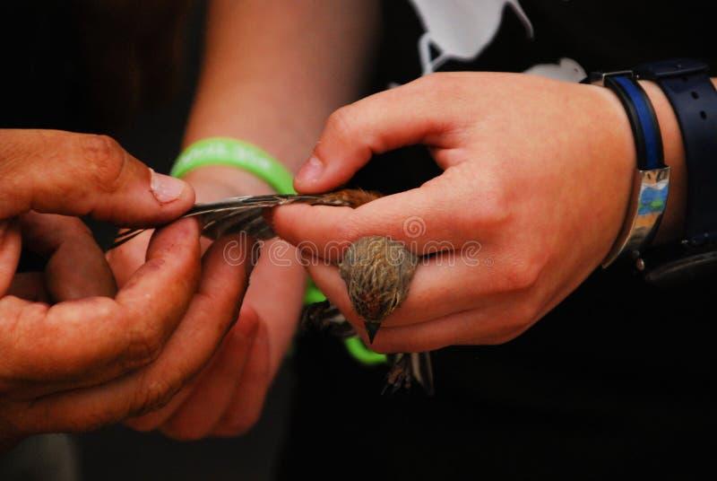 Oiseau jaune canari sauvage photos libres de droits