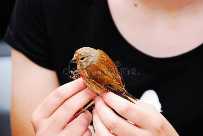 Oiseau jaune canari sauvage images stock