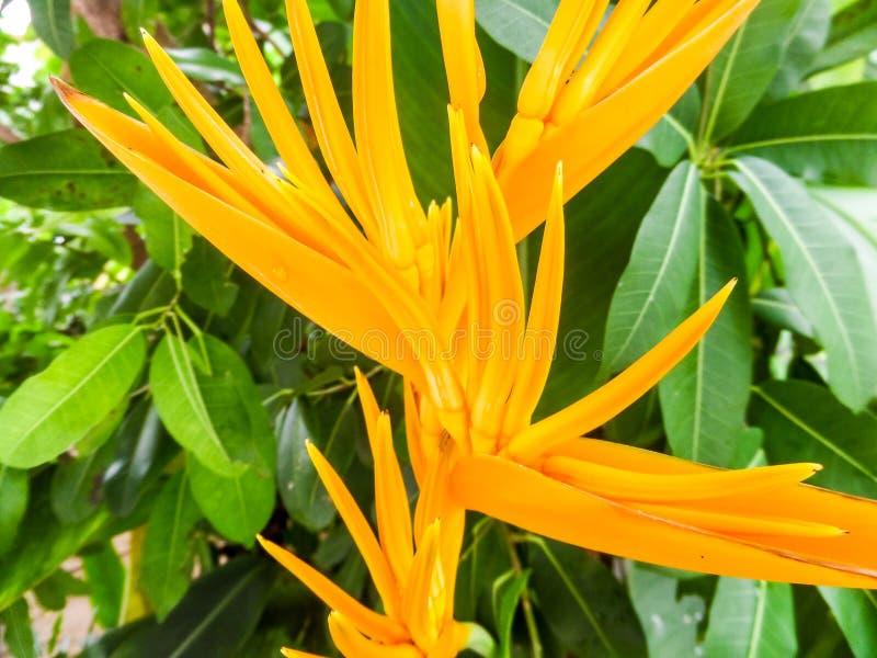 Download Oiseau jaune du paradis photo stock. Image du nature - 56479198