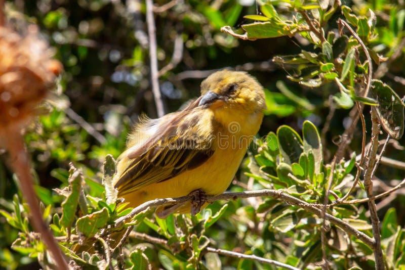 Oiseau jaune raccordé sur un arbre image libre de droits