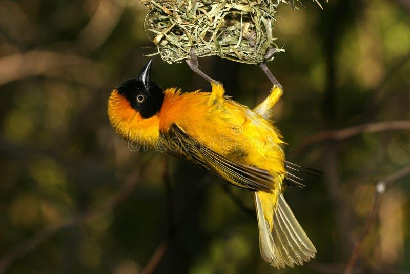 Oiseau jaune se retenant en fonction sur l'emboîtement photo stock