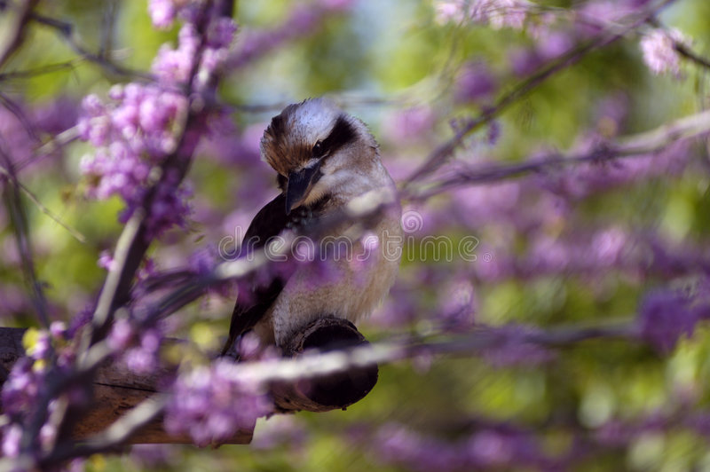 Oiseau - Kookaburra riant (novaeguineae de Dacelo) photographie stock libre de droits