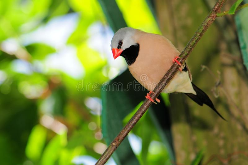 Oiseau long-tailed adulte de pinson photographie stock libre de droits
