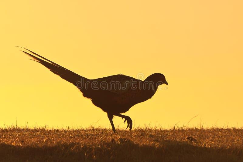 Oiseau mâle de faisan marchant sur une côte photo stock