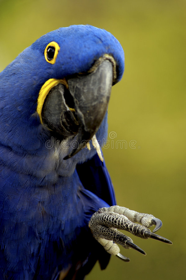 Oiseau - Macaw de jacinthe (hyacinthinus d'Anodorhynchus) photo stock
