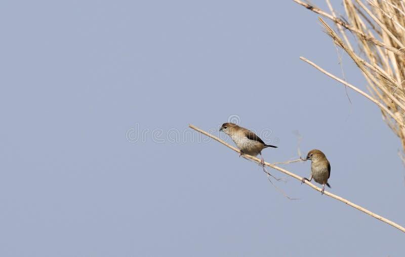 Oiseau, malabarica d'Indien Silverbill - de Lonchura photographie stock libre de droits