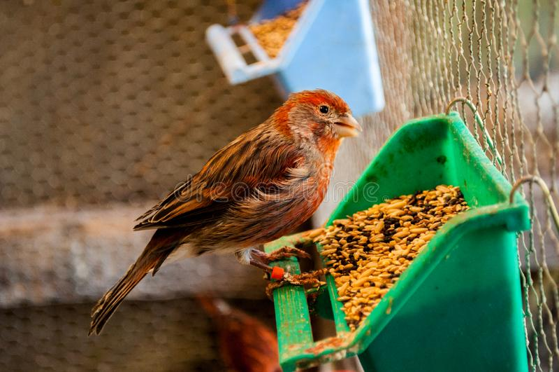 Oiseau mangeant du ma?s photo stock