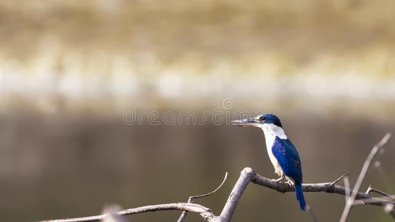 Oiseau : Martin-pêcheur colleté image libre de droits