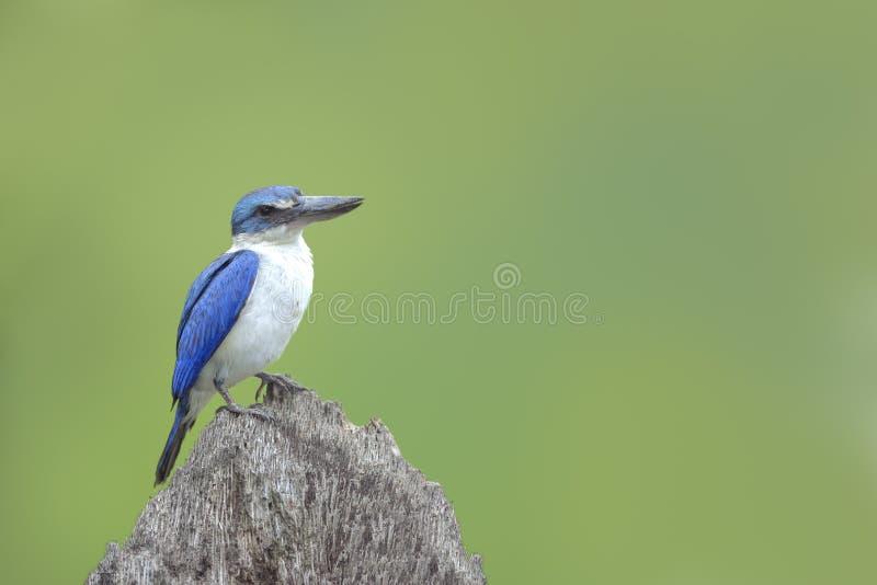 Oiseau (martin-pêcheur colleté) Bel oiseau bleu étant perché sur le rondin photographie stock