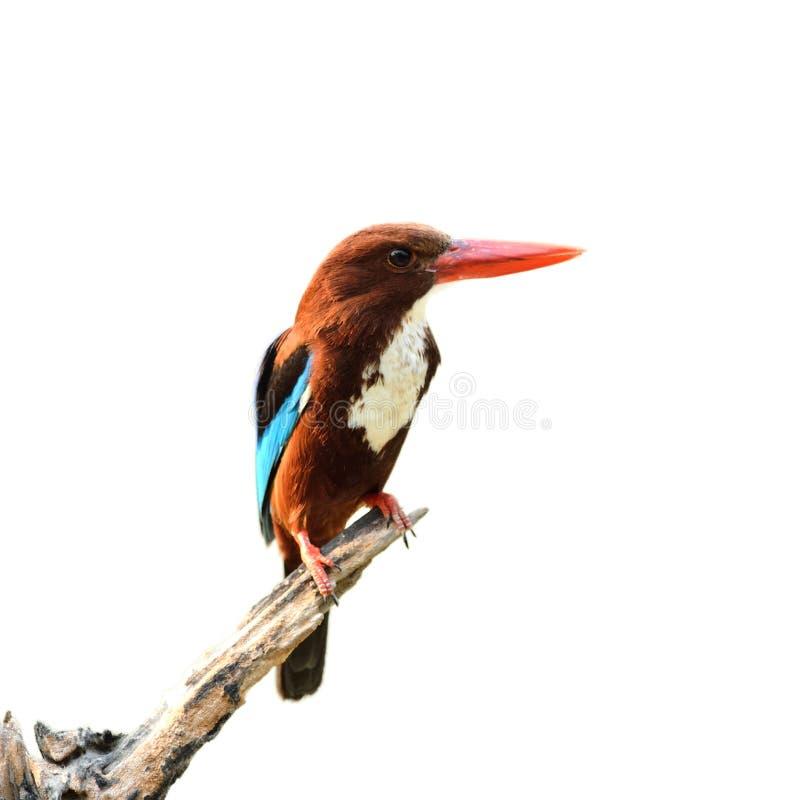 Oiseau (martin-pêcheur commun) d'isolement sur le fond blanc photo stock