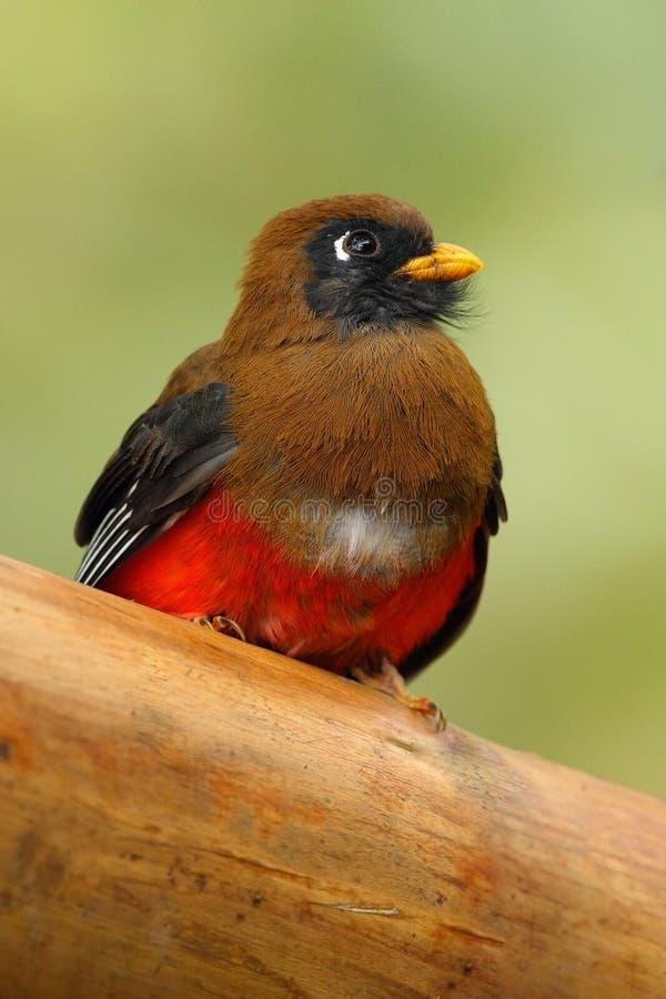 Oiseau masqué de Trogon, de Trogon, rouge et brun de personatus dans l'habitat de nature, Bellavista, Equateur photos stock