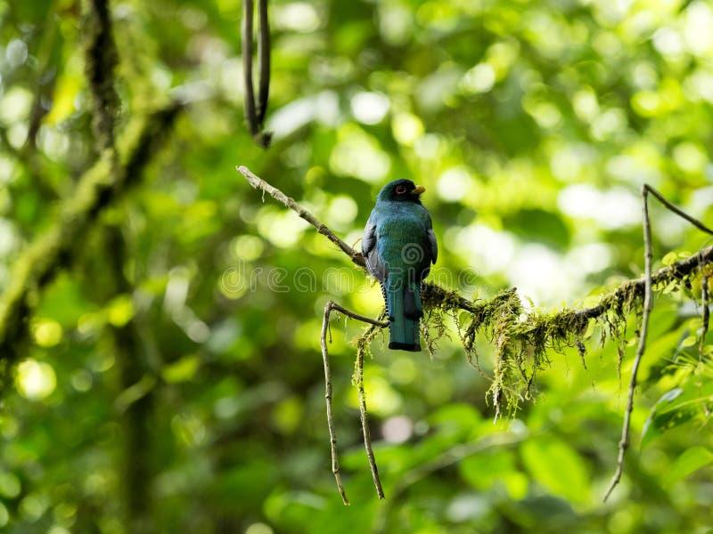 Oiseau masqué de Trogon, de Trogon, rouge et brun de personatus dans l'habitat de nature, Maquipucuna, images libres de droits