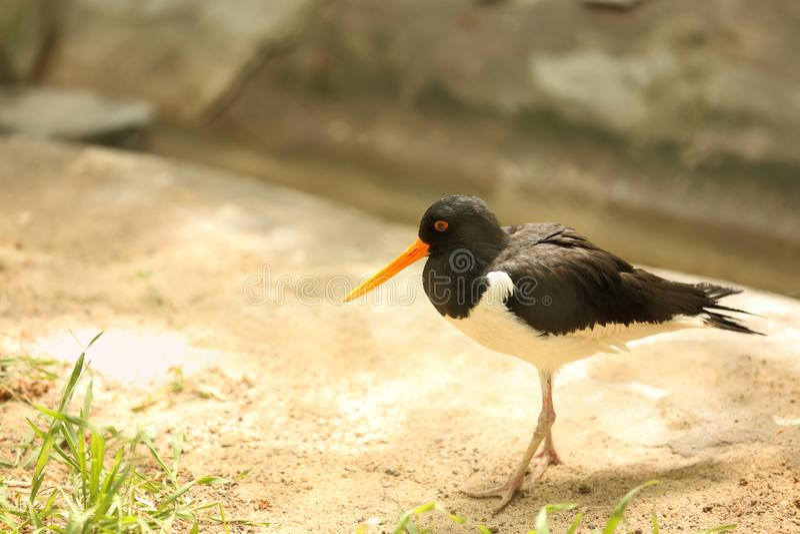 Oiseau mignon de receveur d'huître dans le jardin zoologique photo stock