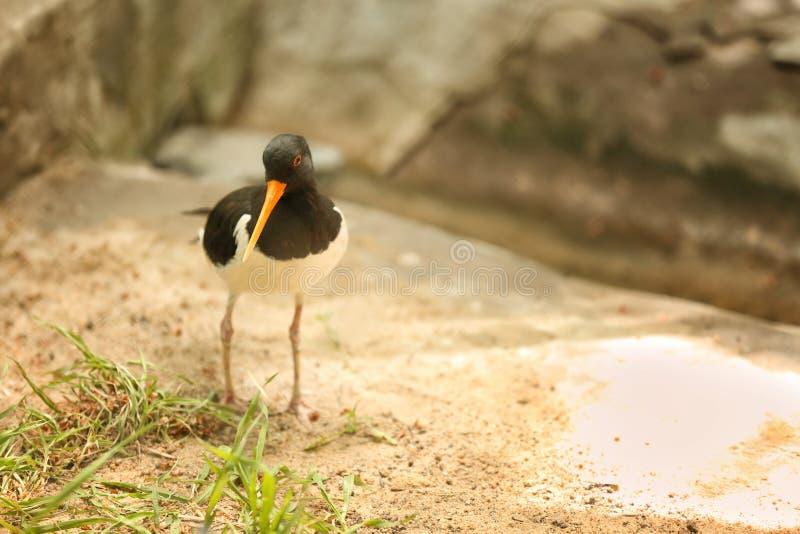 Oiseau mignon de receveur d'huître dans le jardin zoologique image libre de droits