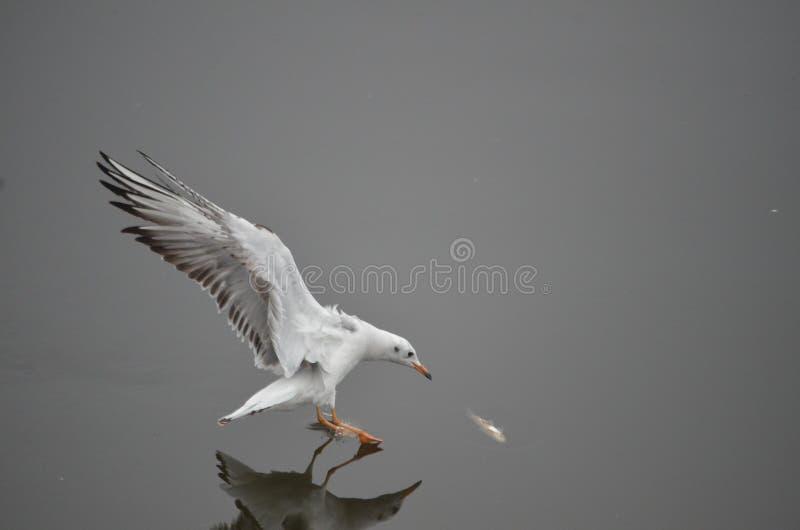 Oiseau migrateur à Bhopal photos stock