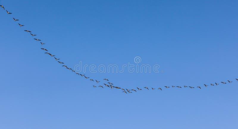 Oiseau migrateur dans le ciel image stock