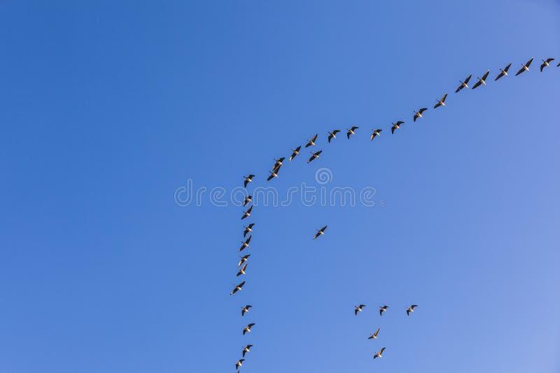 Oiseau migrateur dans le ciel image libre de droits