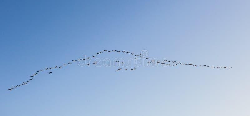 Oiseau migrateur dans le ciel photos libres de droits