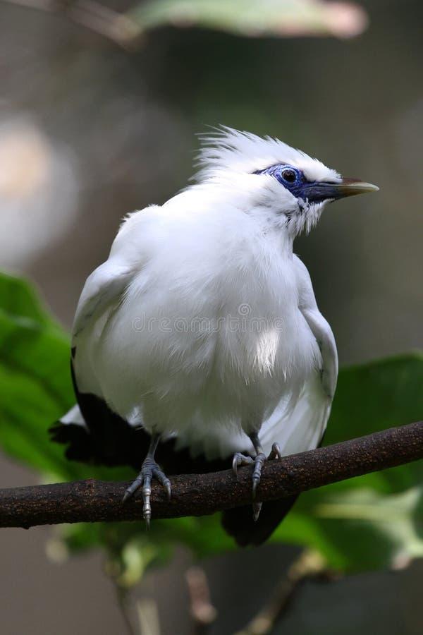 Oiseau mis en danger --- Étourneau de Bali images libres de droits