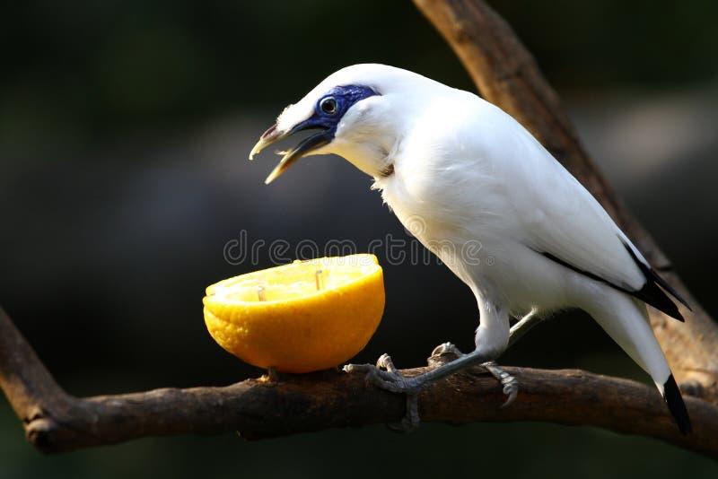 Oiseau mis en danger --- Étourneau de Bali photos stock