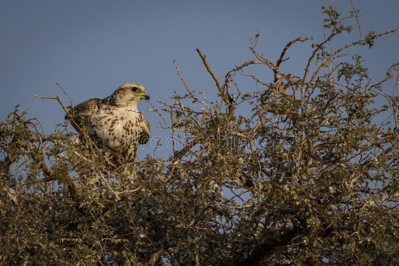 Oiseau national de plan rapproché de faucon de Saker de bikaner de visite de mangolia, Ràjasthàn Inde photos stock