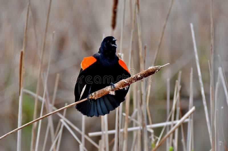 Oiseau noir à ailes rouges images stock
