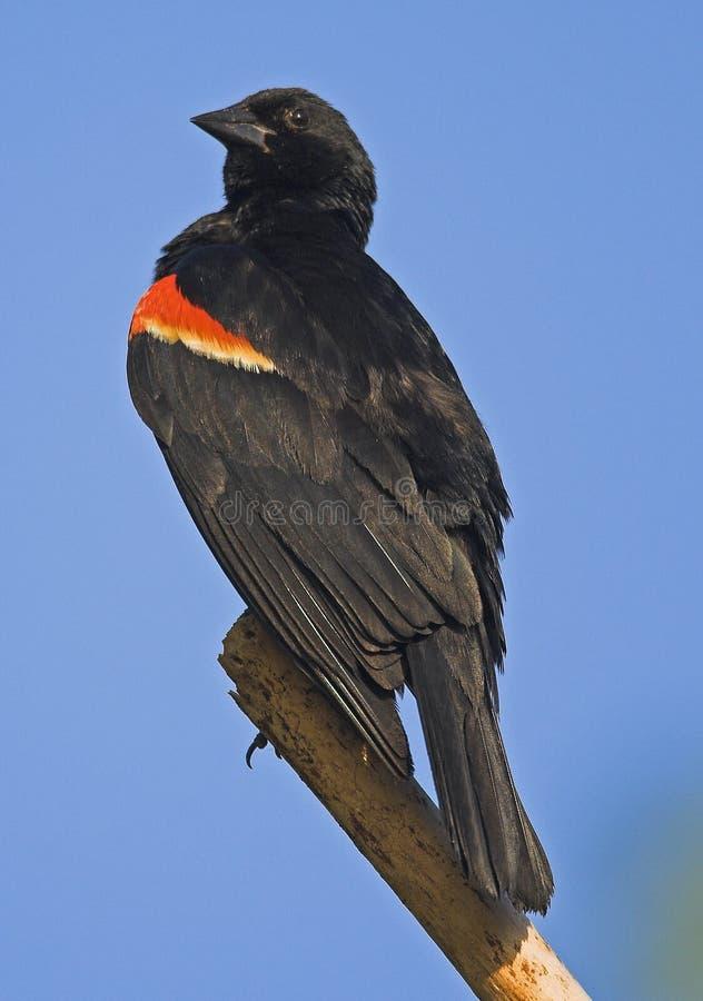 Oiseau noir à ailes rouges photos stock