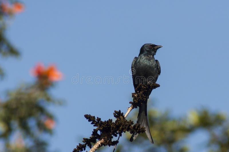 Oiseau noir à un arrière-plan de ciel bleu images stock