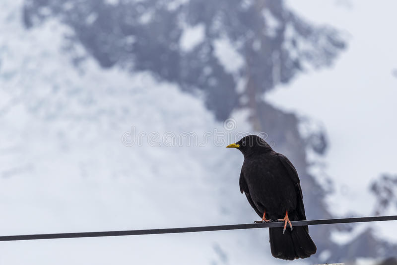 Oiseau noir avec le bec jaune dans la neige photo stock for Oiseau noir bec jaune