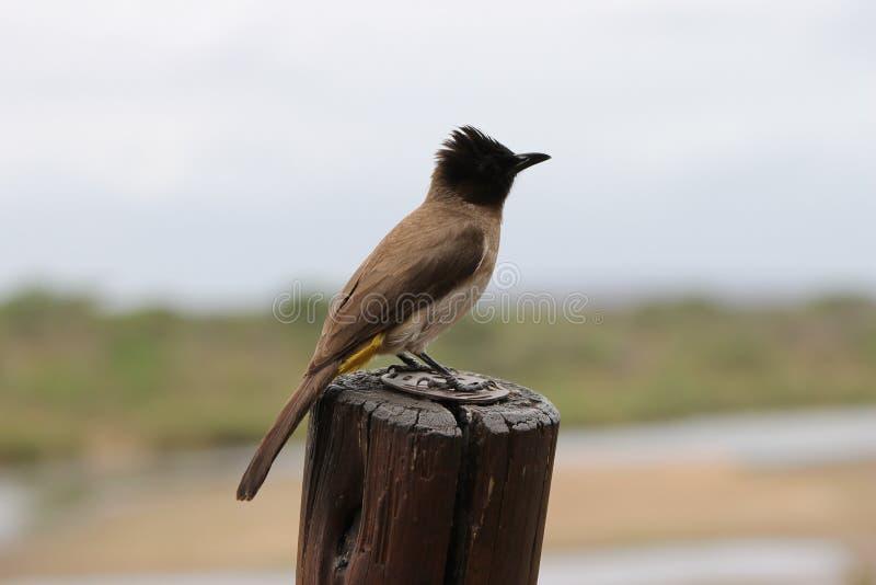 Oiseau noir, brun et jaune africain photographie stock libre de droits