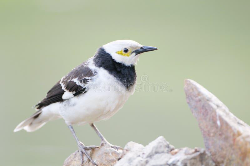 oiseau Noir-colleté d'étourneau (nigricollis de Sturnus) se tenant sur la branche photos stock